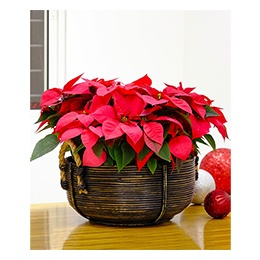 Christmas Poinsettia: Red Poinsettia